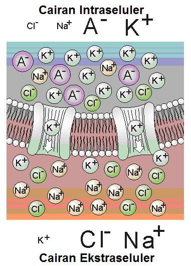 Gambar-2.-Ion-potasium-berdifusi-ke-luar-membran-sel