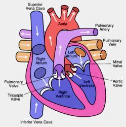 Gambar-1.-Ilustrasi-bagian-bagian-jantung