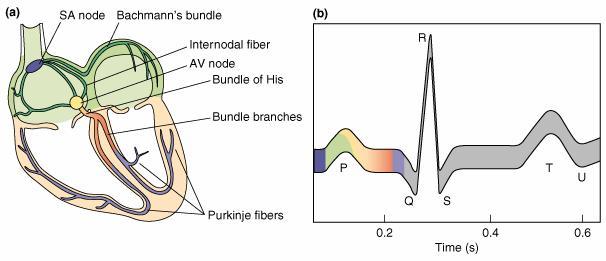Gambar-4.-Contoh-rekaman-EKG-selama-satu-siklus-jantung