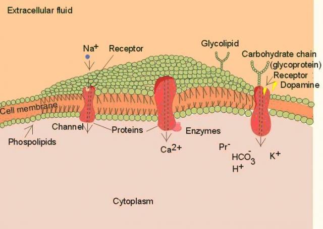 Gambar 2.1. Struktur membran sel
